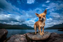 Chihuahua in Scotland