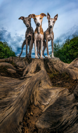 Whippets on a log
